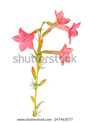 Single stem with light-red flowers of Ipomopsis aggregata cultivar Hummingbird, also called scarlet trumpet, scarlet gilia, or skyrocket, isolated against a white background - stock photo