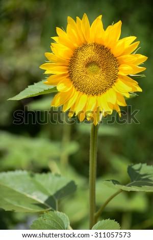 Single Sunflower - stock photo