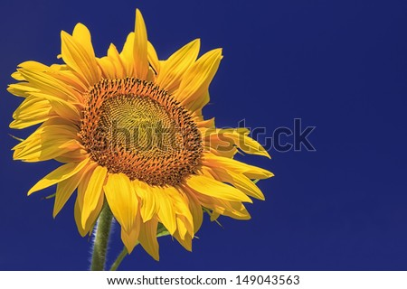 Single Sunflower against a vibrant blu sky - stock photo