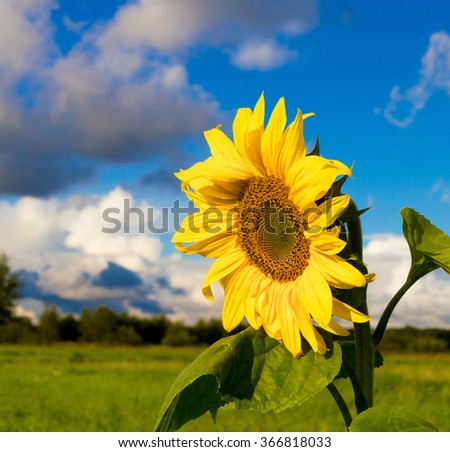 Single Sunflower Big Plant  - stock photo