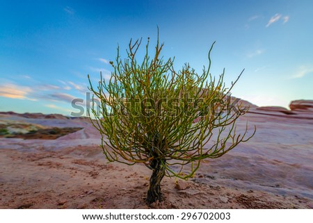Single Tree on a Desert Valley of Fire State Park Overton Nevada - stock photo