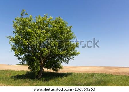 Single tree on empty field. Blue sky on background. - stock photo