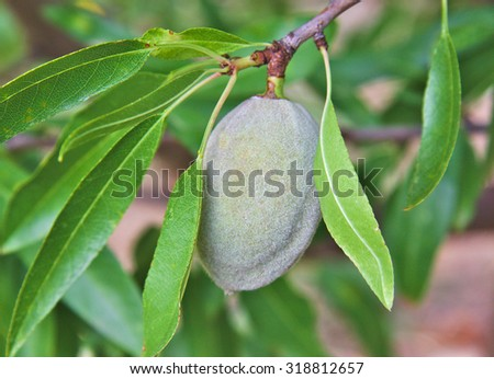 Single unripe almond on almond tree and branches - stock photo