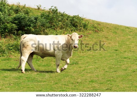 Single White-bred Shorthorn Cow walking on a Scottish hill side - stock photo