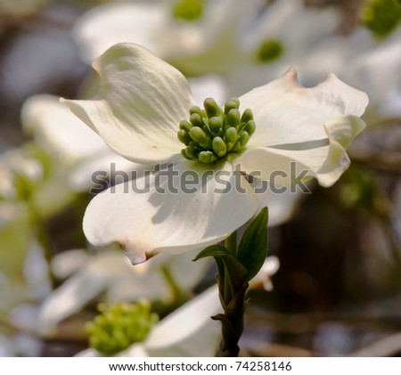 Single white dogwood blossom - stock photo