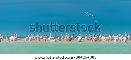 Single White Pelican flying over large colony  - stock photo