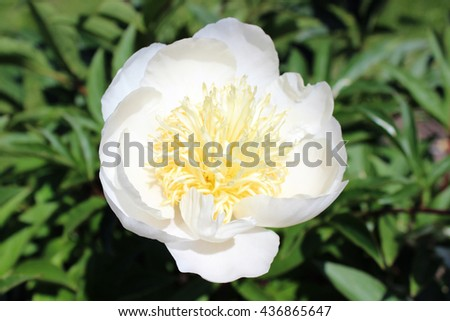 Single white peony, a macro close-up view of a blooming flower - stock photo