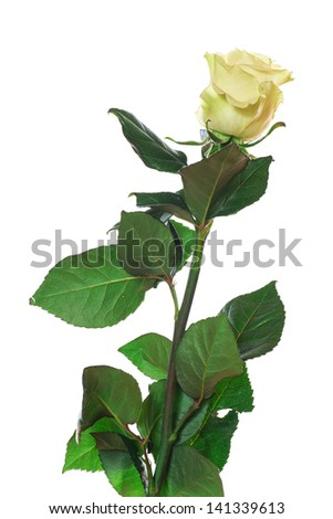 single white Rose standing in front of a white background - stock photo