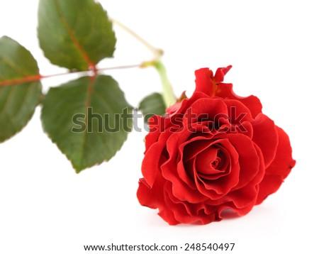 Single wonderful red rose isolated on white - stock photo