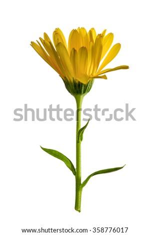 Single yellow calendula flower isolated on white background. - stock photo