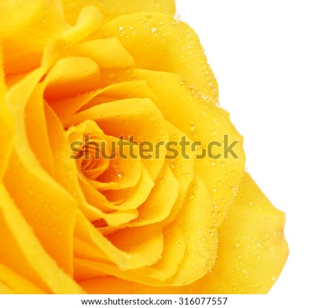 single yellow rose flower, isolated on white, close up - stock photo