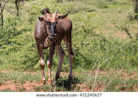 Single young Blue wildebeest calf (Connochaetes taurinus) in Pilanesberg, South Africa - stock photo