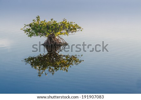 Single young endangered mangrove reflects in calm water - stock photo