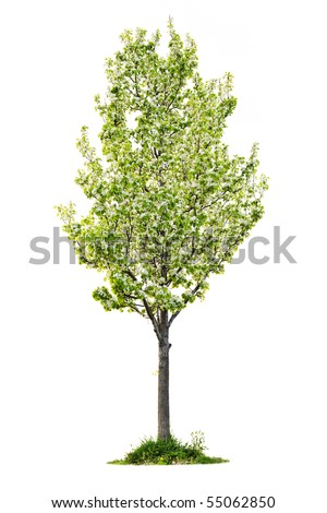 Single young flowering pear tree isolated on white background - stock photo