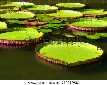Sir Seewoosagur Ramgoolam Botanical Garden in Pamplemousses, Mauritius - stock photo