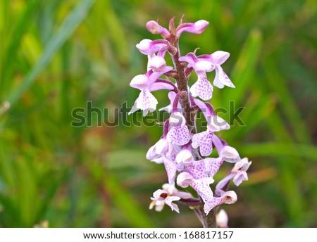 Sirindhornia orcid - stock photo