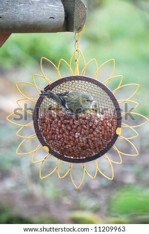 Siskin on a peanut feeder - stock photo