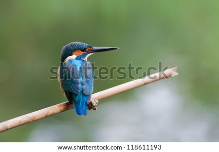 Sit and relax on the baboo stick, common kingfisher - stock photo