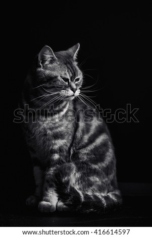Sitting adorable gray cat on black background, black and white image - stock photo