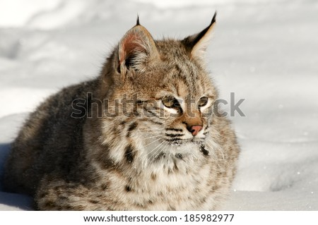 Sitting Bobcat - stock photo