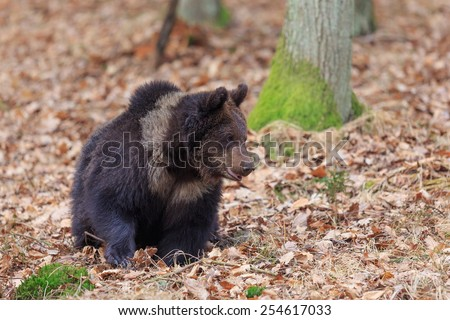sitting brown bear - stock photo