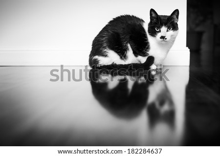 Sitting Cat and his reflection on the pavement - stock photo