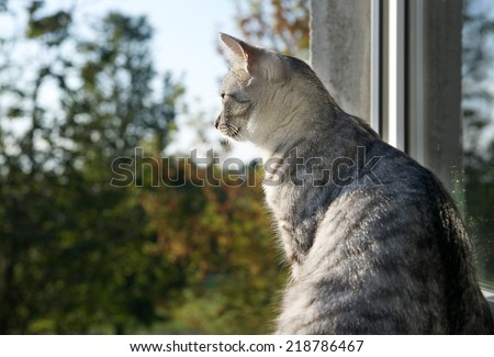Sitting cat and looking through the window on blur autumn background, watching cat close up, autumn background with cat, cat watching birds, cat portrait with space for text - stock photo