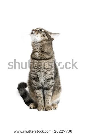 Sitting Cat on white background - stock photo