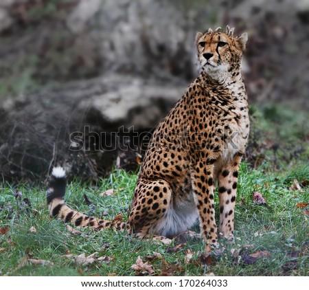 sitting cheetah. - stock photo