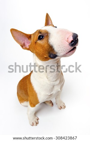 Sitting dog, funny cute breed bull terrier on white background, portrait - stock photo