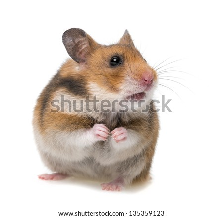 sitting hamster isolated on a white background - stock photo