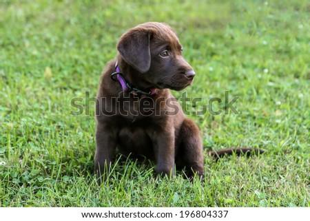 Sitting Lab Puppy - stock photo