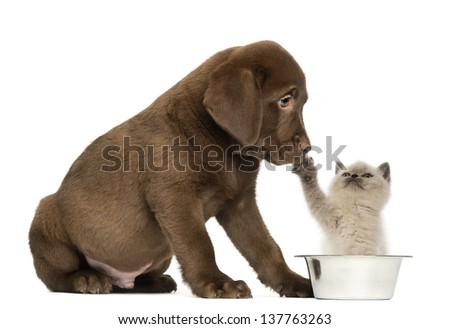 Sitting Labrador Retriever Puppy looking at a British Longhair kitten seated in a dog bowl, 2 months old, isolated on white - stock photo