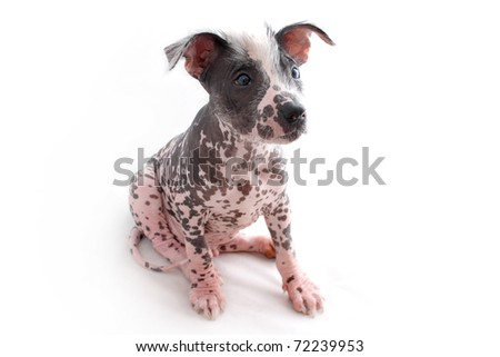 Sitting Mexican Hairless pup - stock photo