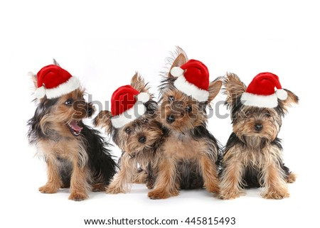 Sitting Puppy Dogs With Cute Expression and Santa Hat - stock photo