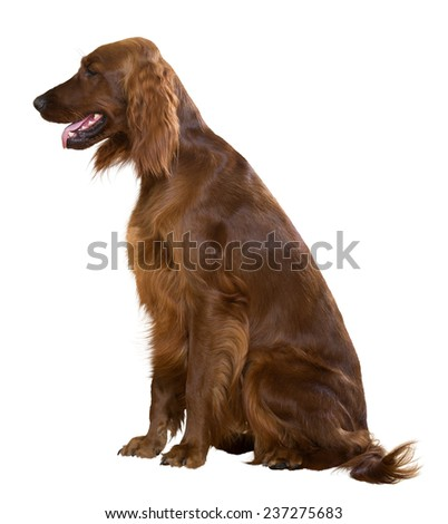 Sitting Red Irish Setter, isolated on white - stock photo