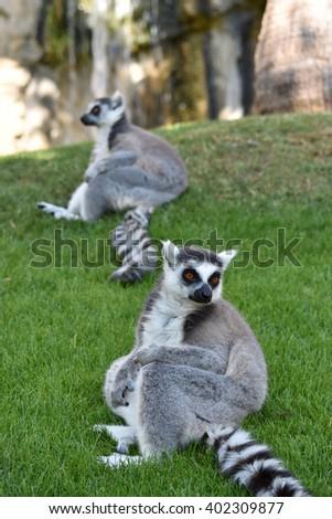 Sitting ring-tailed lemurs.  - stock photo