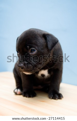 Sitting, sad Staffordshire Bull Terrier puppy (2 weeks) - stock photo