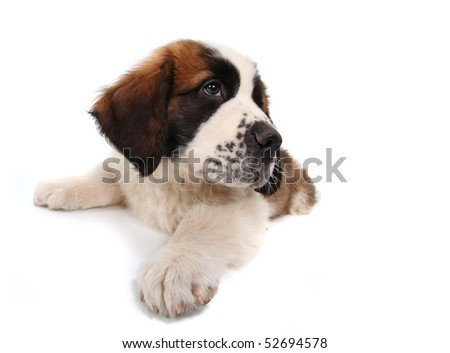 Sitting Saint Bernard Puppy Looking Sideways on White Background - stock photo