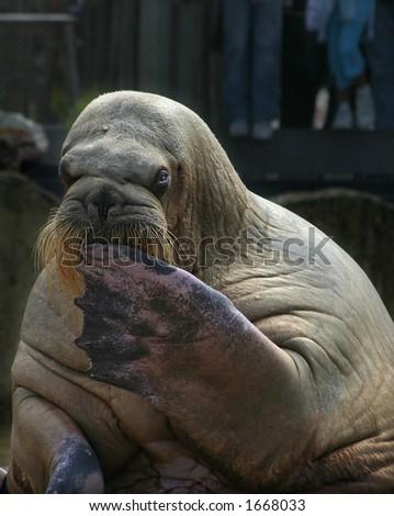 Sitting walrus - stock photo