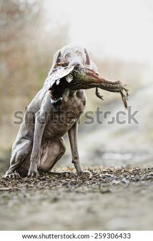 sitting weimaraner dog puppy holds in its mouth pheasant hunting - stock photo