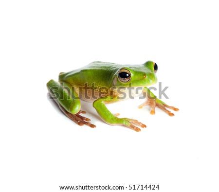 Sitting white-lipped tree frog or Litoria Infrafrenata isolated on white - stock photo