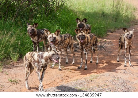 six African wild dogs in South Africa standing in a gravel road - stock photo