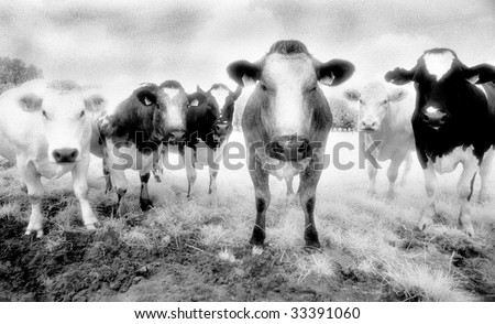 Six cows staring. Shot on Infrared Film (known for high-grain) and drum scanned. - stock photo