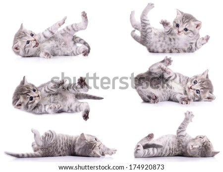six gray tabby Scottish kittens lies on their back and played. animal isolated on white background - stock photo