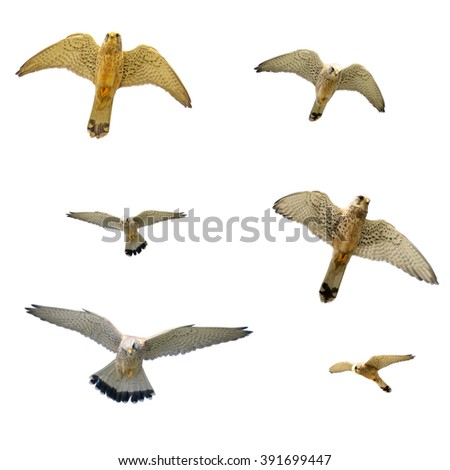 six hawks isolated on white background - stock photo