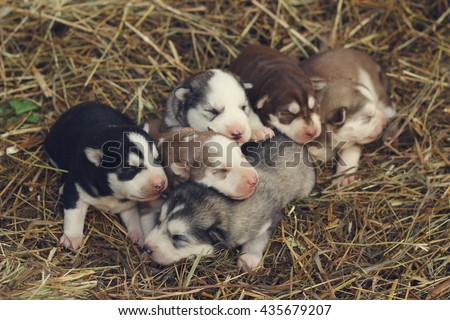 Six little husky puppies sleeping on the hay. Cute baby dogs in the grass. Animal breeding on the farm. Northern breed dogs. Malamute and husky. - stock photo