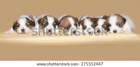 Six little Jack Russell puppies together side by side in a brown background - stock photo