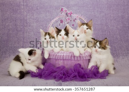 Six Norwegian Forest Cat kittens sitting inside purple tutu decorated basket on light purple background  - stock photo