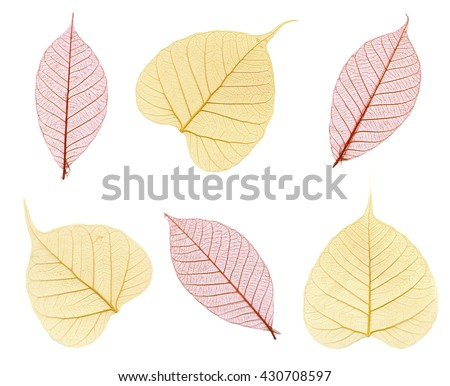 Six skeletons of autumn leaves in maroon and beige isolated on white - stock photo